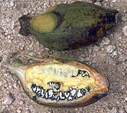 Plátano salvaje